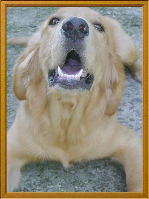 Fotolog de emc: Can,perro,golden